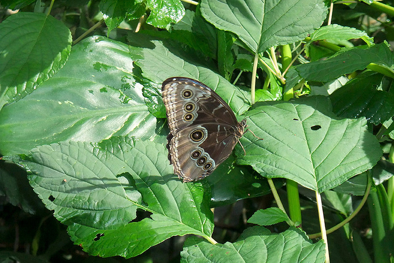 """Perched, with his wings closed, this butterfly was all brown with owl like """"eyes""""."""