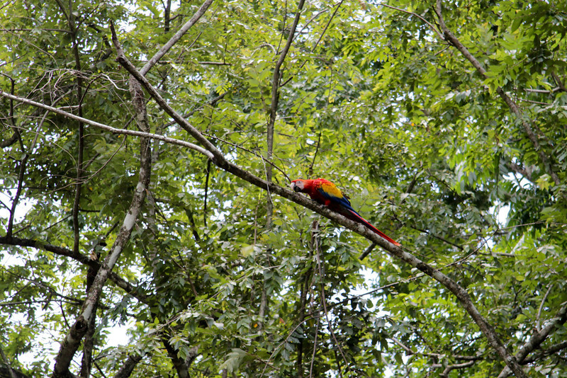 The macaws are  back to see us out as we prepare to leave Copan.