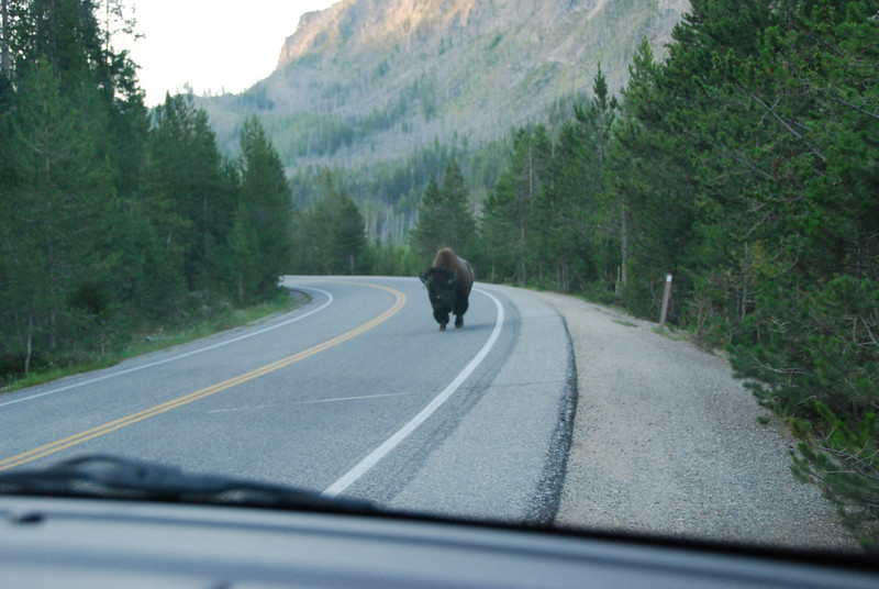 We headed out at dawn one day, hoping to see some wildlife.  We were pretty shocked to see a bison walking down the highway in our lane!  We pulled over, and he passed by without any interest in us.