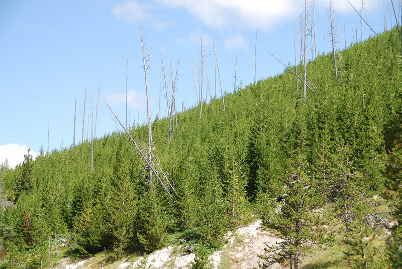 Most of the forests in Yellowstone look like this.  The fires of 1988 burned huge areas of the park, leaving dead, denuded tree.  Then new trees grew back around them.  Almost every green tree you see in the park is exactly 21 years old.