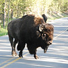 More highways, more bison.