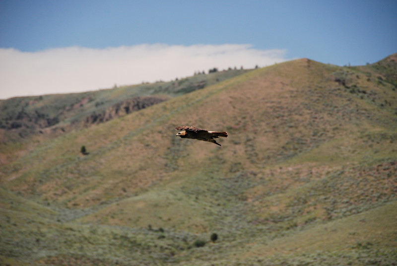 A Golden Eagle flying along the river.