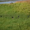 Canadian Geese, walking through tall grass, with only their heads showing.