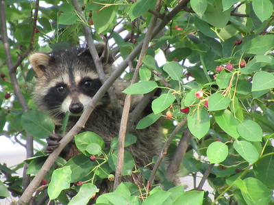 Raccoons at Plum Creek 06-2018