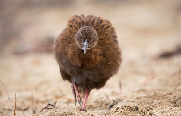 Stewart Island Weka (NZ)