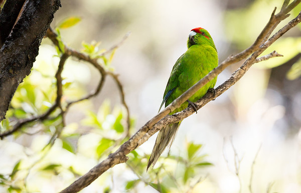 Red-crowned parakeet on Ulva Island