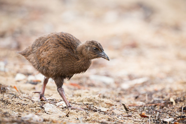 Weka on the beach at Ulva Island
