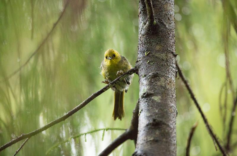 Yellowhead on Ulva Island