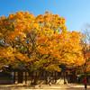 Zelkova Tree, Unhyeongung Palace