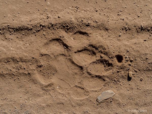 Pugmark of a tiger