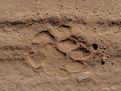 Pugmark of a tiger
