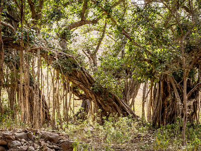 Beautiful banyan tree within the reserve