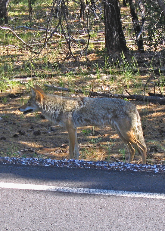 "Coyote in the ""wild""?"