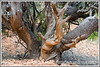 A gnarled juniper trunk in Red Canyon in Utah near Bryce National Park