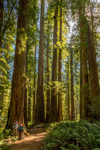 Coast redwood (Sequoia sempervirens). Boy Scout Tree Trail. Jedediah Smith Redwoods State Park.