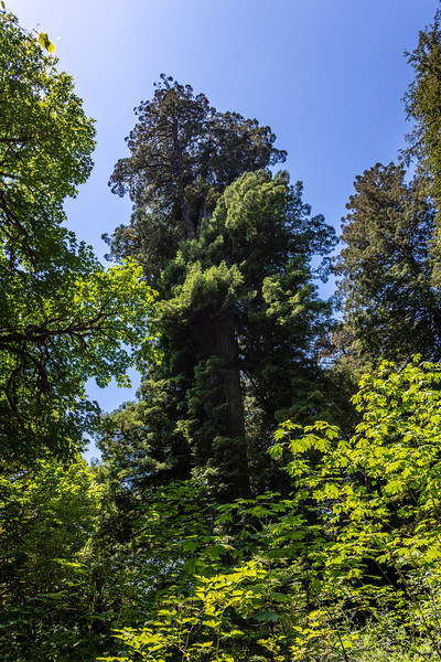 Coast redwood (Sequoia sempervirens).<br /> Big Tree Wayside. Redwood National Park, California.