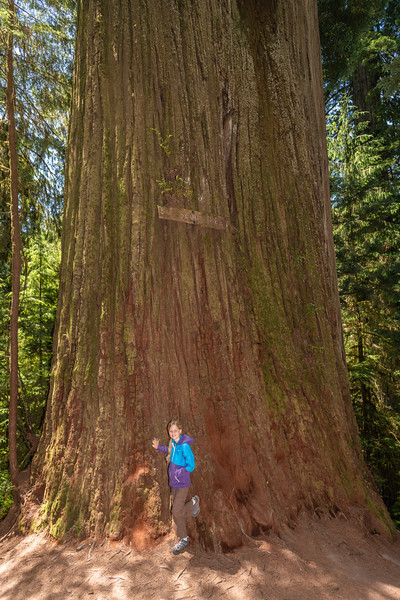 Boy Scout Tree. Jedediah Smith Redwoods State Park.