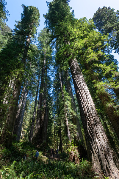 Boy Scout Tree Trail. Jedediah Smith Redwoods State Park.