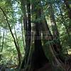 Redwoods_122211_Kondrath_0204