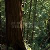 Redwoods_122211_Kondrath_0184