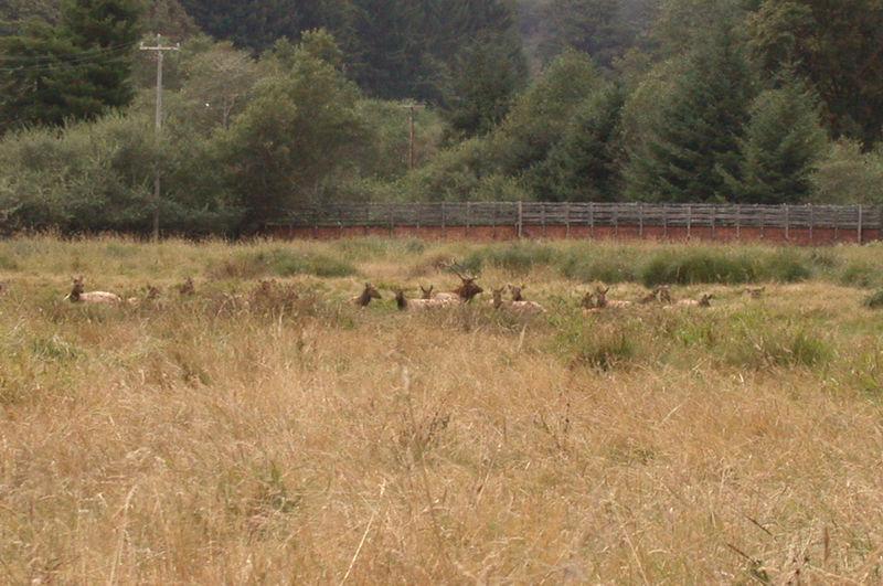My first view of an Elk herd near Prairie Creek SP Visitor Center