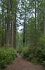 misty morning in Redwood National Park