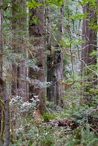 Perfect weather for a walk among the ancient Redwoods