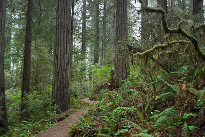 trail to Lady Bird Johnson Grove in Redwood National Park on a misty morning