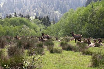 Elk Meadow in Redwood  National Park