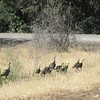 I had the Camp Creek Campground, on Iron Gate Lake, almost to myself; there was a couple in an RV, and these turkeys.