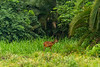 Female Sitatunga aka Marshbuck