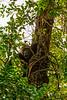 Western Lowland Gorilla Eating Termites