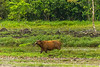 African Forest Buffalo