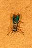 Hunting Wasp