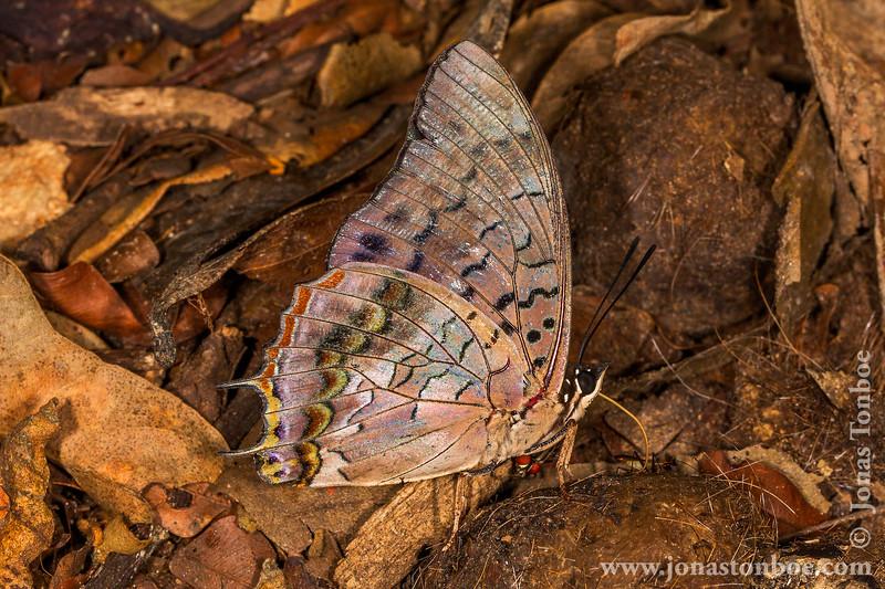 Butterfly on Spotted Hyena Scat