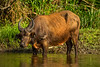 African Forest Buffalo and Yellow-billed Oxpecker