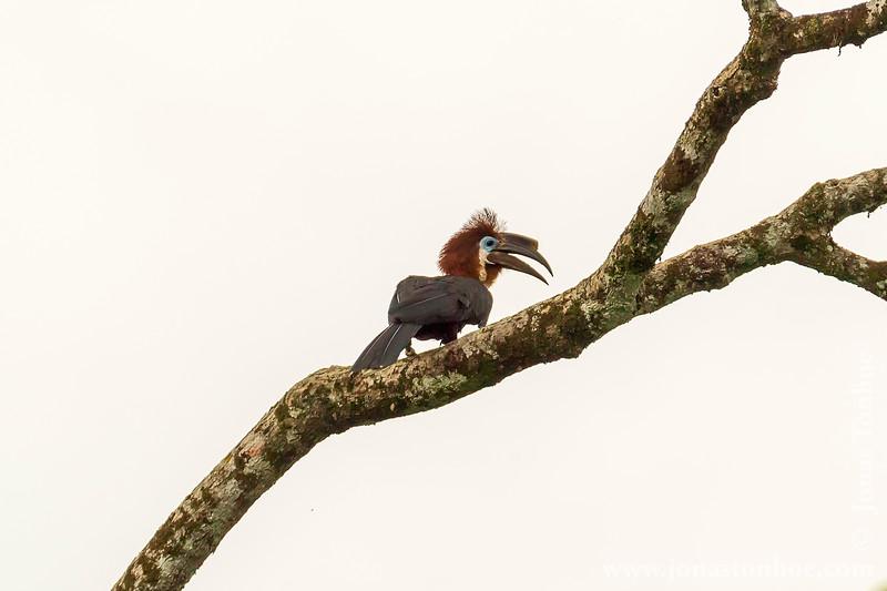Black-casqued Wattled Hornbill aka Black-casqued Hornbill