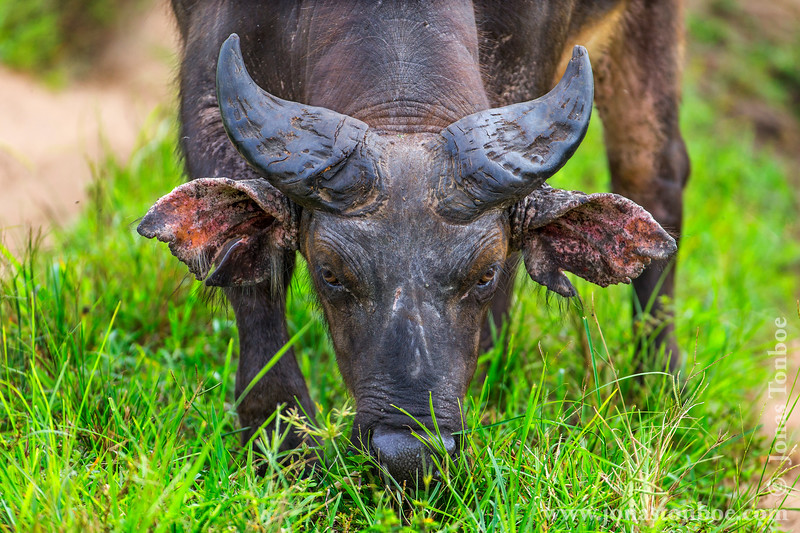 Male African Forest Buffalo