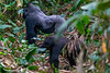 Western Lowland Gorilla Silverback Jupiter