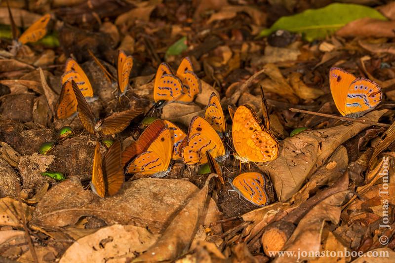 Butterflies on Spotted Hyena Scat