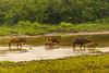 African Forest Buffalo Walking in Lango Stream