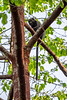 Putty-nosed Monkey aka Greater Spot-nosed Monkey