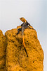 Lizard on Termite Mound