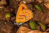 Butterfly and Beetles on Spotted Hyena Scat