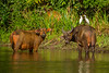 African Forest Buffalo, Cattle Egret and Yellow-billed Oxpecker
