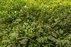 Marantaceae