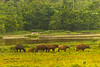 African Forest Buffalo by Lango Stream