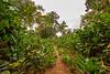 Trail Through Marantaceae