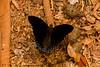 Butterfly on Scat