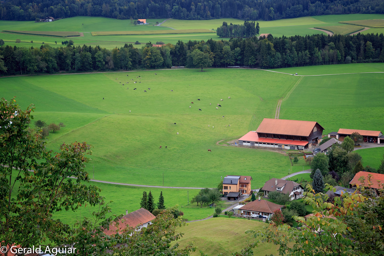 Cows grazing in a Swiss pasture.
